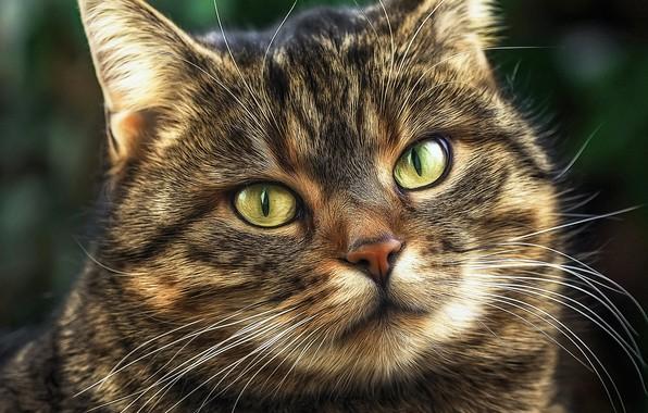 Картинка кошка, взгляд, портрет, мордочка