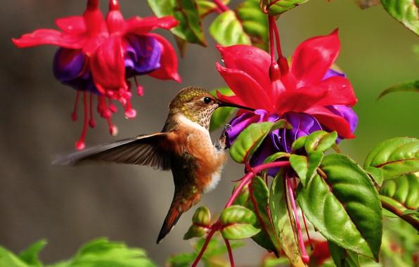Картинка листья, цветы, природа, колибри, птичка, фуксия