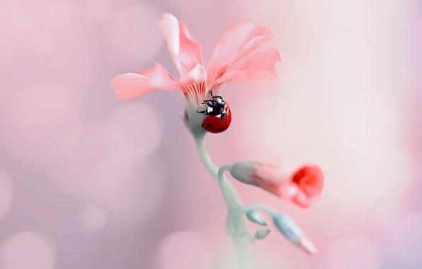 Картинка цветок, макро, природа, божья коровка, жук, бутоны, боке, Rina Barbieri