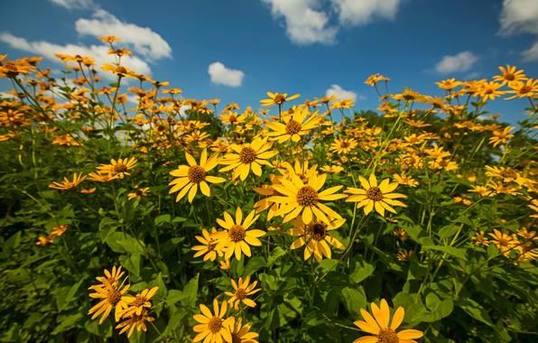 Картинка лето, небо, облака, цветы, синева, яркие, желтые, кусты, много, рудбекия