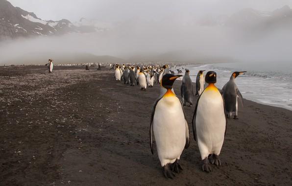 Картинка море, пляж, горы, птицы, природа, туман, вместе, берег, вершины, стая, пингвины, дымка, пингвин, митинг, много, …