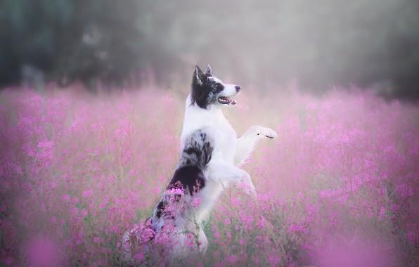 Картинка поле, язык, лето, взгляд, цветы, природа, поза, туман, поляна, собака, лапы, дымка, прогулка, розовый фон, ...