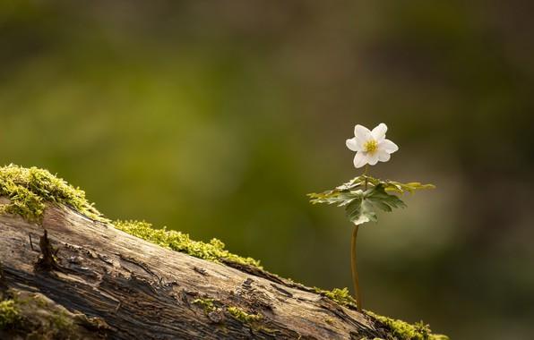Картинка цветок, природа, Anemone nemorosa, Wood Anemone