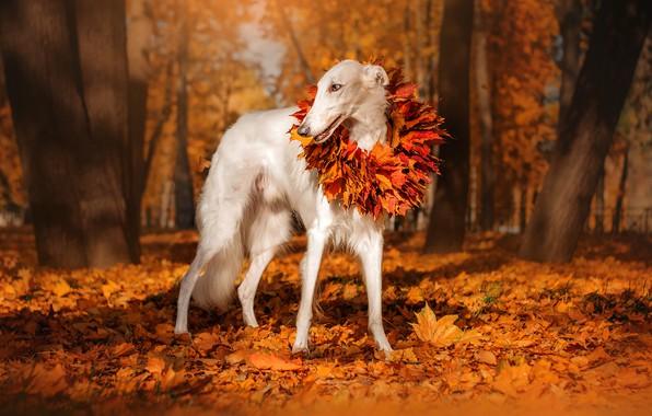 Картинка осень, листья, деревья, природа, парк, животное, собака, венок, пёс, борзая