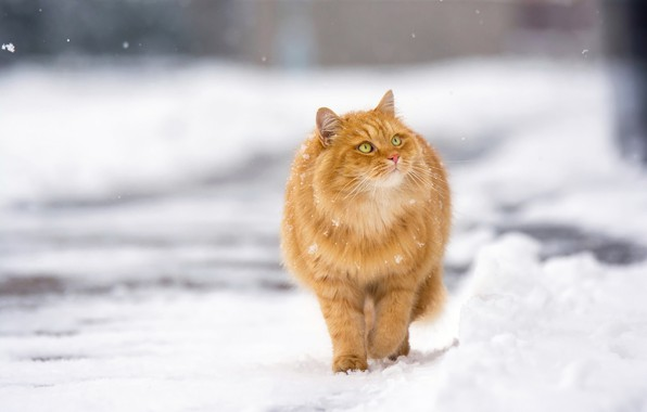 Картинка зима, кот, снег, рыжий, прогулка