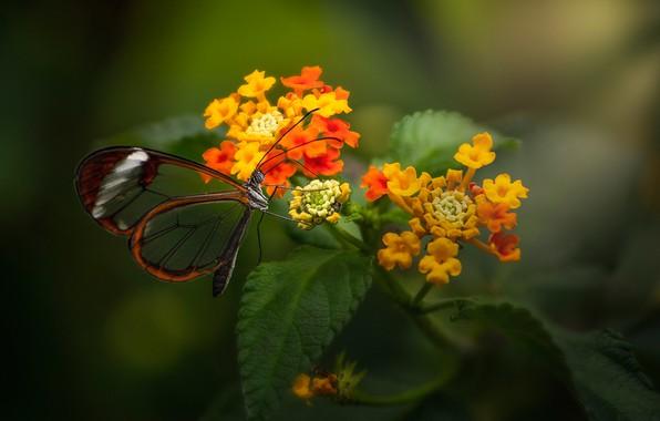 Картинка макро, цветы, бабочка, Лантана, Greta oto, Стеклянная бабочка