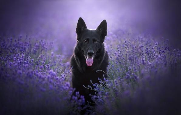 Картинка язык, взгляд, морда, цветы, собака, лаванда, Немецкая овчарка