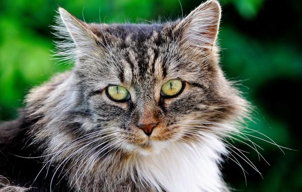 Картинка кот, взгляд, портрет, мордочка, котейка