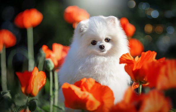Картинка цветы, природа, животное, маки, собака, пёс, боке, шпиц