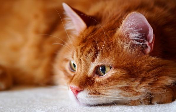 Картинка кошка, кот, взгляд, морда, портрет, пушистый, рыжий, лежит, красавчик, желтые глаза