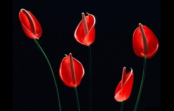 Картинка чёрный фон, красные цветы, Антуриум, цветок фламинго