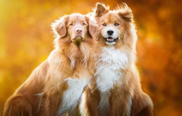 Картинка осень, собаки, взгляд, оранжевый, природа, поза, фон, две, собака, щенки, рыжий, дружба, пара, щенок, золотой, …
