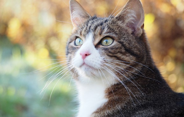 Картинка кошка, кот, взгляд, портрет, мордочка, боке, котейка
