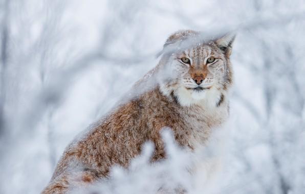 Картинка зима, лес, кошка, взгляд, морда, снег, ветки, фон, снежный, красотка, рысь, сидит, дикая