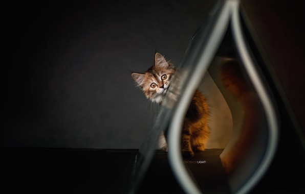 Картинка взгляд, Котёнок, Alexander Drobkov-Light