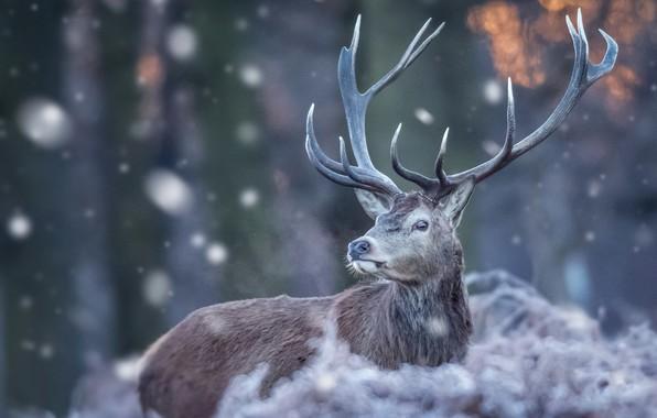 Картинка зима, природа, олень, рога, снегопад, боке