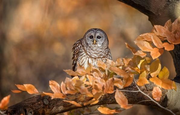 Картинка осень, взгляд, листья, ветки, фон, дерево, сова, птица, листва, боке, золотая осень, неясыть, пестрая