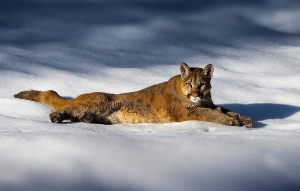 Картинка зима, свет, снег, сугробы, лежит, тени, пума, кугуар