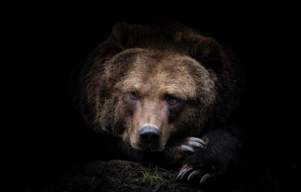 Картинка морда, фото, хищник, медведь