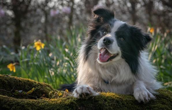 Картинка взгляд, морда, настроение, мох, портрет, собака, боке, Бордер-колли