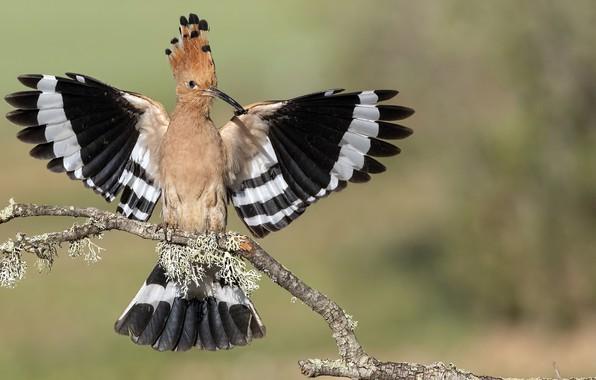 Картинка птица, Upupa epops, Удод