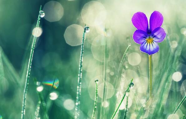 Картинка цветок, лето, трава, капли, макро, природа, роса, боке, фиалка, Valentin Valkov
