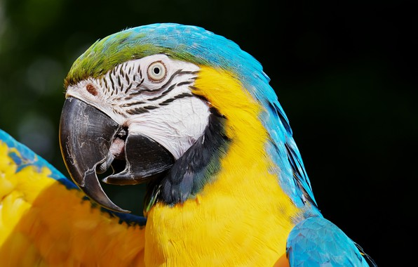 Картинка птица, Попугай, ара