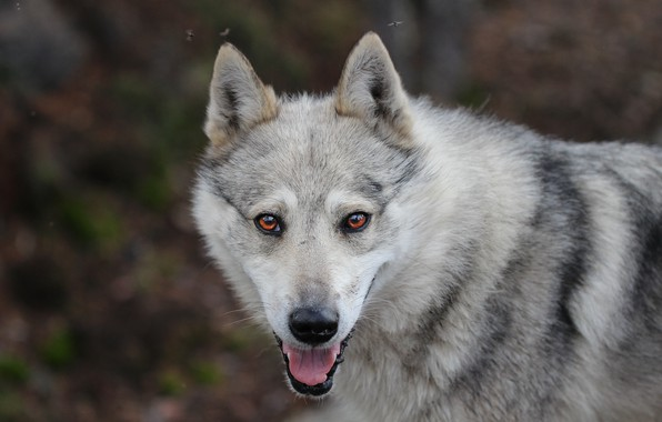 Картинка язык, фон, друг, собака