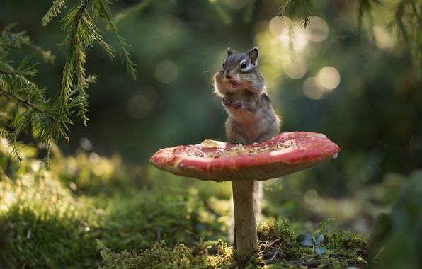 Картинка лес, ветки, гриб, мох, мухомор, бурундук, боке, грызун, зверюшка