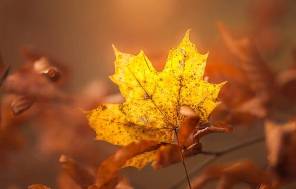 Картинка осень, листья, свет, желтый, лист, фон, листва, листок, ветка, кленовые, боке, осенние, осенний, кленовый, лист …