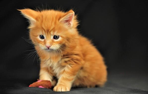 Картинка кошка, кот, усы, взгляд, котенок, мордочка, милый, черный фон, cat, kitty, look, cute, black background, …