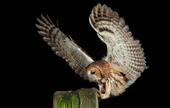 Картинка птица, Серая неясыть, Strix aluco