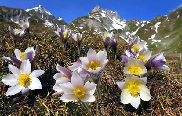 Картинка цветы, горы, природа