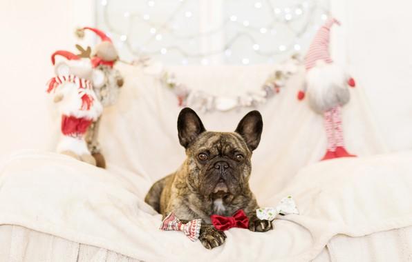 Картинка диван, праздник, игрушки, новый год, собака, подарки, французский бульдог
