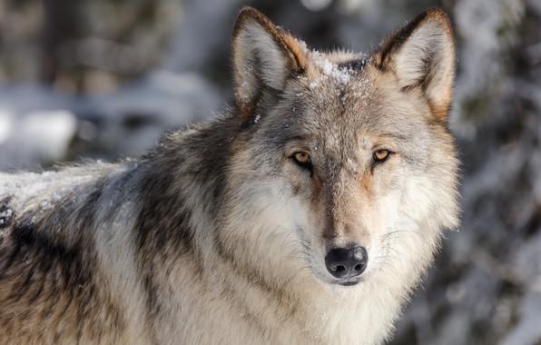 Картинка зима, глаза, взгляд, морда, снег, крупный план, серый, фон, волк, портрет, хищник, дикая природа