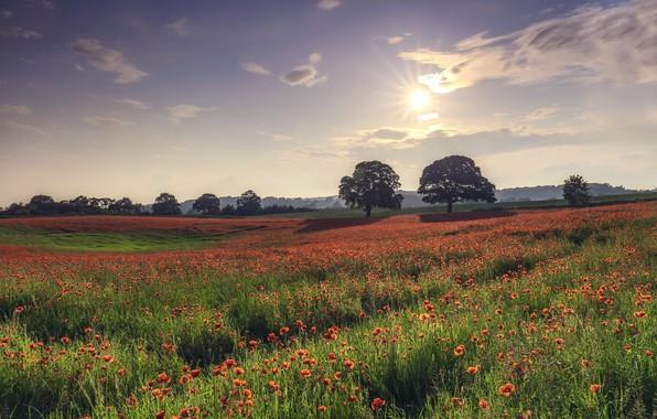 Фото обои поле, лето, маки