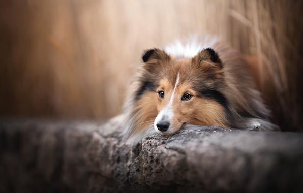 Картинка морда, собака, боке, Шелти, Шетландская овчарка