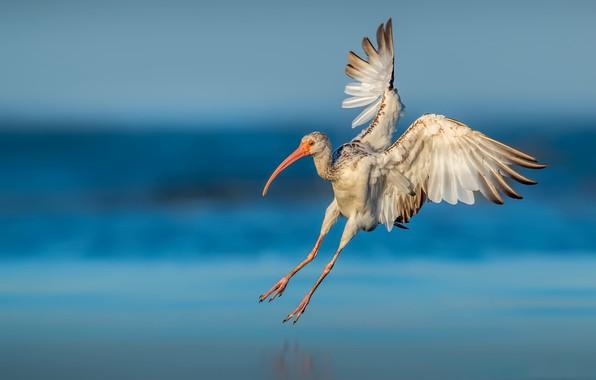 Картинка природа, птица, Young American white ibis