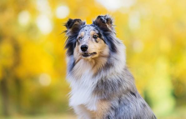 Картинка осень, взгляд, морда, желтый, парк, фон, портрет, собака, щенок, порода, боке, колли