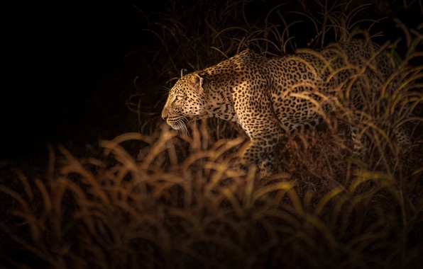 Картинка растительность, леопард, leopard, vegetation, Richard Liu