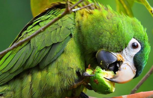 Картинка взгляд, поза, зеленый, фон, птица, еда, клюв, попугай, когти, окрас, обед, ара, оперение, трапеза