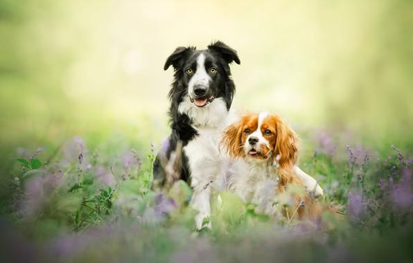 Картинка парочка, боке, две собаки, Бордер-колли, Кавалер-кинг-чарльз-спаниель