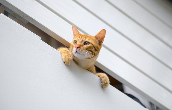 Картинка кошка, кот, рыжий, мордочка, котёнок, наблюдатель, котейка