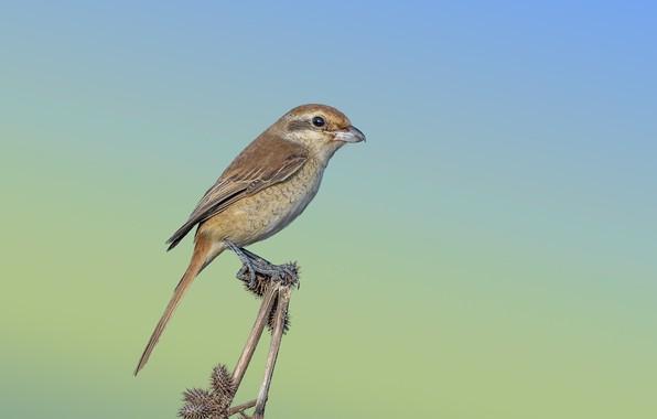 Картинка птица, колючка, буланый жулан