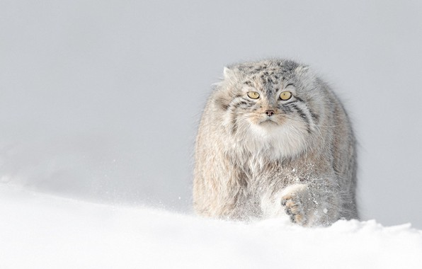 Картинка winter, snow, манул, manul, fluffy