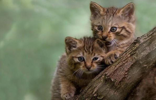 Картинка пушистики, кусает, размытый задний фон, ствол дерева, играются, два котёнка