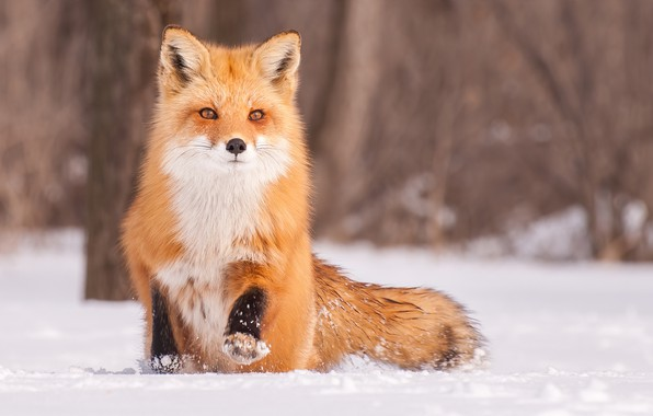 Картинка зима, взгляд, снег, лиса, рыжая