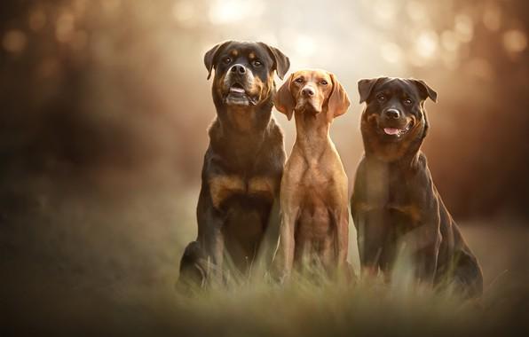 Картинка язык, собаки, трава, взгляд, свет, природа, поза, фон, дружба, три, трио, друзья, морды, боке, сидят, …