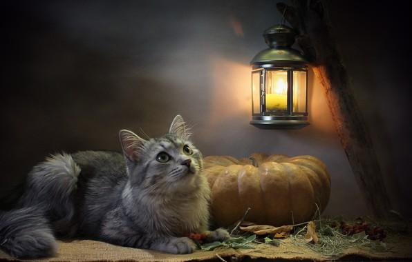 Картинка кошка, кот, взгляд, листья, свет, животное, свеча, фонарь, тыква, мешковина, Ковалёва Светлана, Светлана Ковалёва