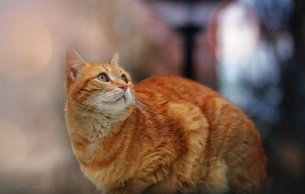 Картинка кошка, кот, взгляд, рыжий, боке, котейка